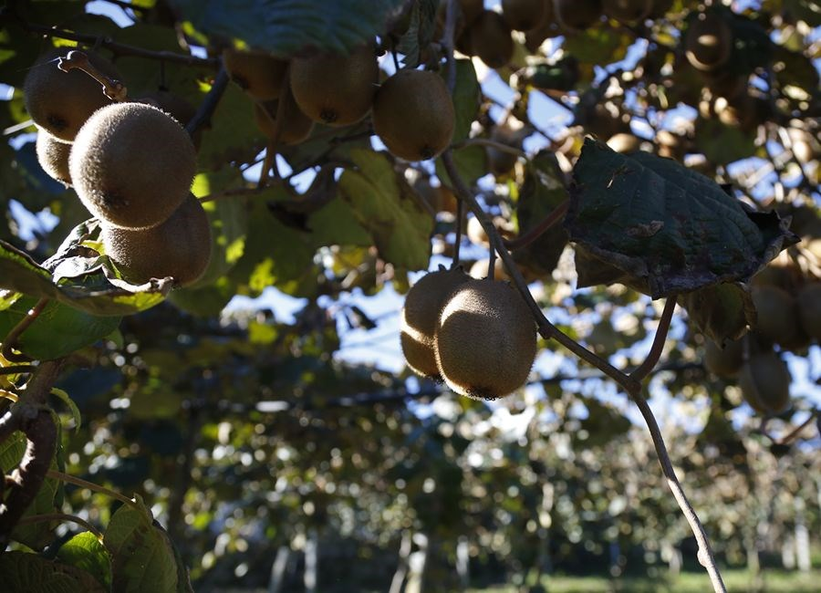 O Que é o Kiwi de Portugal
